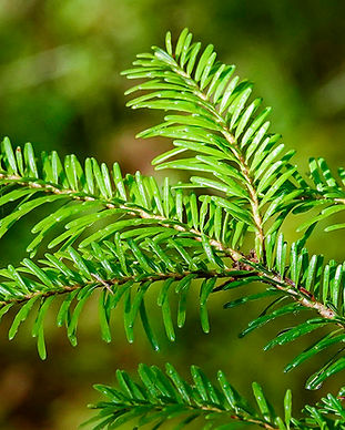 Trees-of-the-Adirondacks-Balsam-Fir-Abie