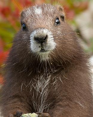 Vancouver-Island-Marmot.png