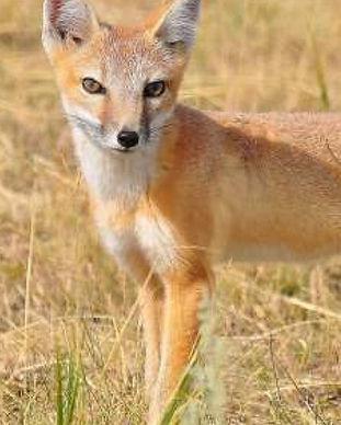 swift-fox-1280x720.jpg
