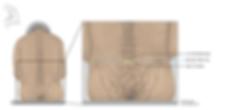ecorche spine