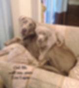 silver lab puppy in Missouri