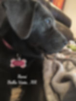 charcoal lab puppy in arkansas