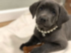 Silver Labs for sale