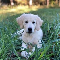 Laotie English Cream Golden Retriever Puppy