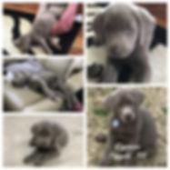 silver lab puppy in arkansas