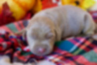 Silver lab puppy for sale AKC Registered