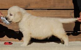 English Cream Golden Retriever Show dog