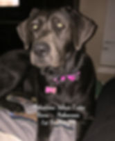 Arkansas Silver Labs - Charcoal Female