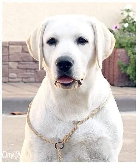 White Labrador Nata Lee