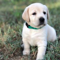 Light Cream Lab Puppy