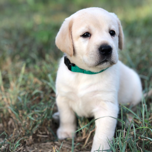 Light Cream Lab Puppy