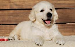 English Cream Golden Retriever Pup
