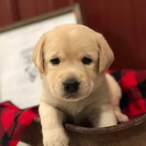 Light Cream Labrador Puppy