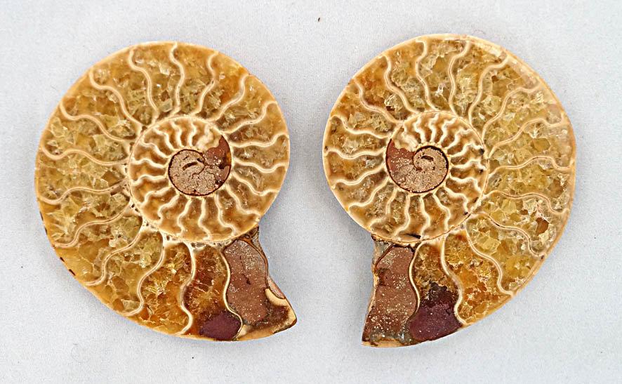 Ammonite pair  (am6)