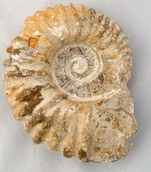 Agadir Ammonite  (am3)