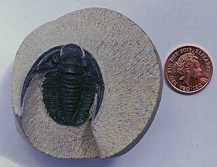 Trilobite - Cornuproetus