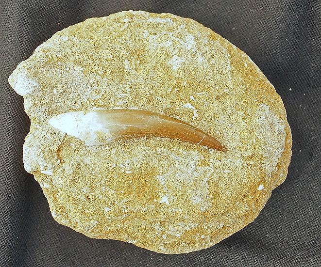 Pliosaur tooth   (pl3)