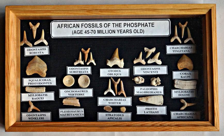 Fossil Shark teethcollecton  (sh15)
