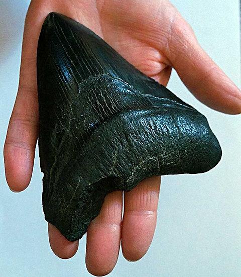 """Fossil shark """"Megalodon"""" tooth   (cmeg05)"""
