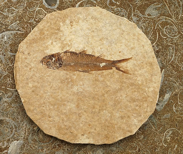 Fossil Fish Knightia