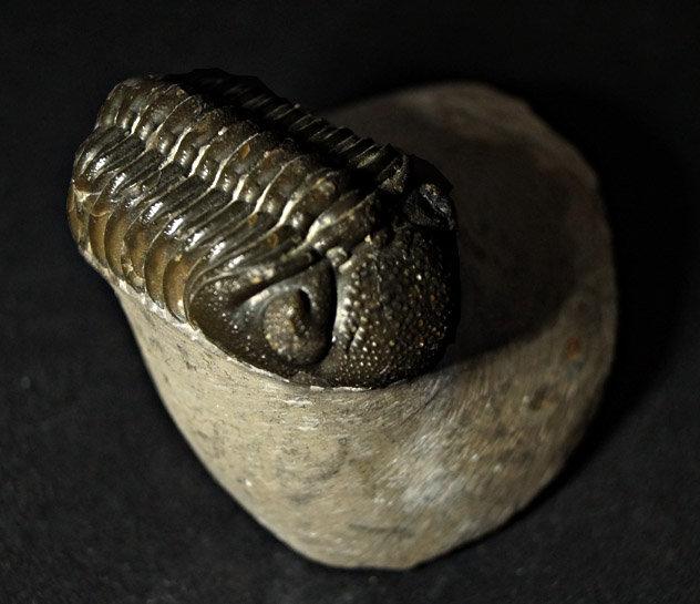 Trilobite - Phacops