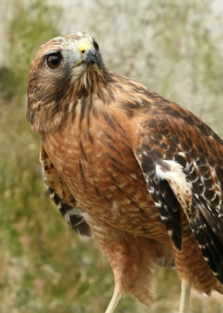 Red-Shouldered Hawk - A Totem