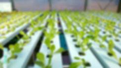 Farm Fresh Sustainable Greens, Microgreens, Vegetables, New Jersey Fresh Food, Aquaponics micro Farm, organic practices