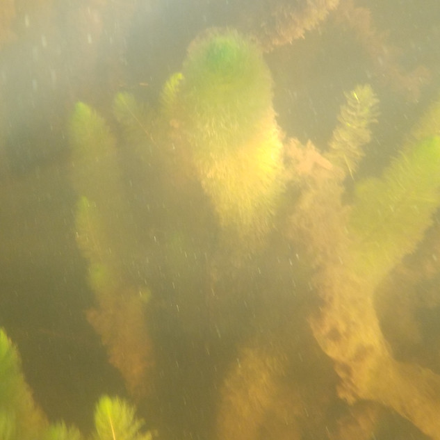 Variable Leafed Milfoil - Raquette Lake