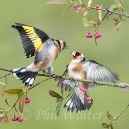 Goldfinches (Carduelis carduelis)
