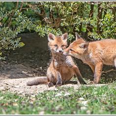 Fox cubs (Vulpes vulpes)
