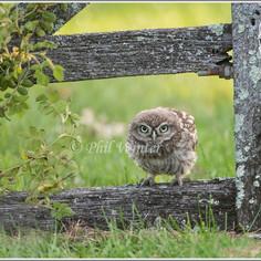 Little Owl fledgling.jpg