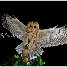 Tawny Owl 01.jpg
