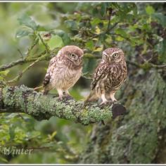 Little Owls (Athene noctua)