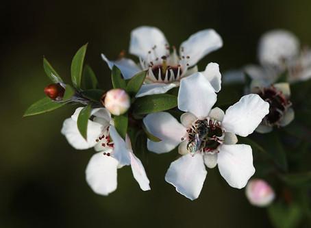 Leptospermum scoparium (Manuka). Une huile essentielle au nom exotique mais aux multiples vertus!