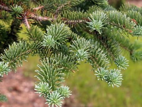 Abies balsamea (sapin baumier): Roi de la forêt boréale.