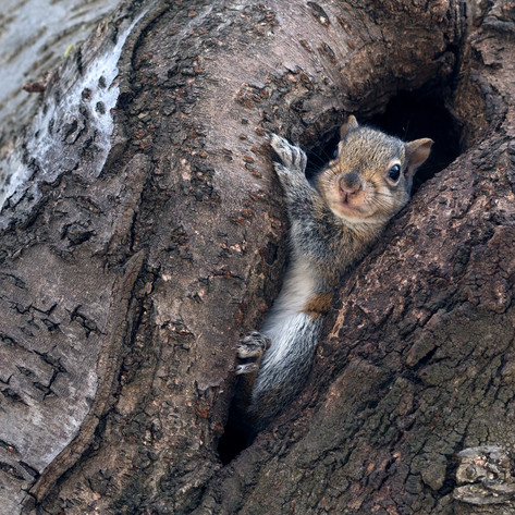 Baby squirrel peeking out of its tree home in Toronto's west end High Park