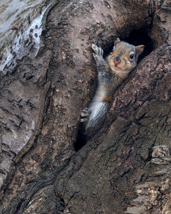 Squirrel in its tree home in Toronto's High Park