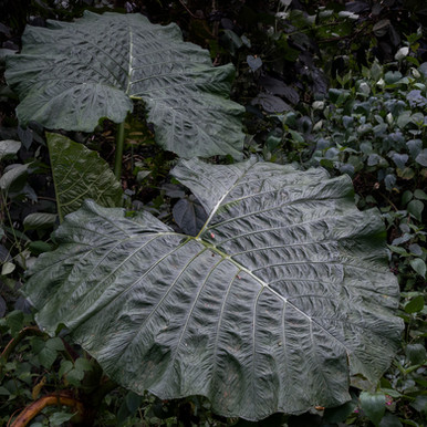 Large tropical leaves in a rainforest of Chiriqui