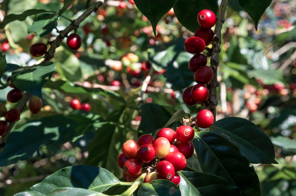 Ripe coffee cherries in the highlands of western Panama