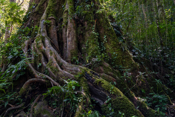 Thousand year old tree in a rainforest near Volcan Baru, Chiriqui province