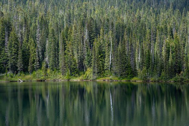 Evergreen reflection at Reflection Lakes in Mount Rainier National Park, Washington State