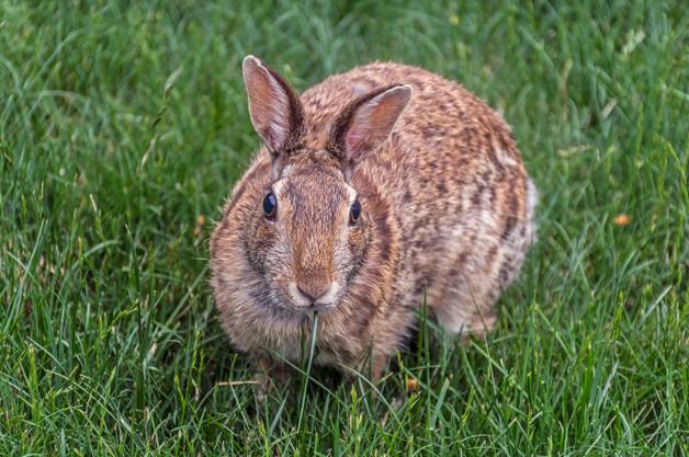 Rabbit snacking on grass