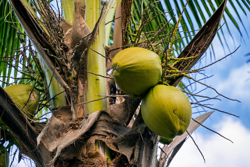 Large coconuts, high up in a palm tree