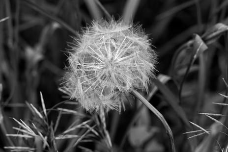 Dandelion head, Canada