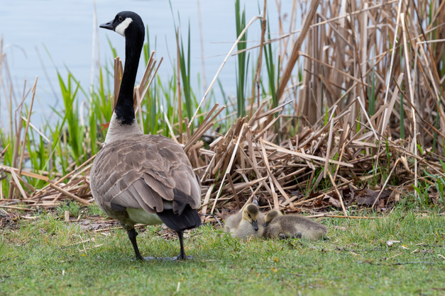 Canadian Goose with her goslings