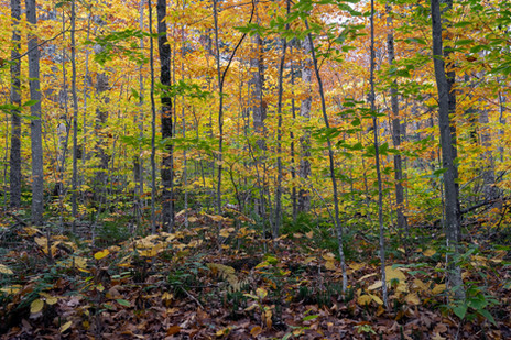 Fall folliage in a forest of the Adirondack Mountains