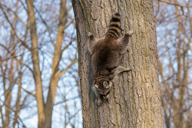 Raccoon climbing down tree