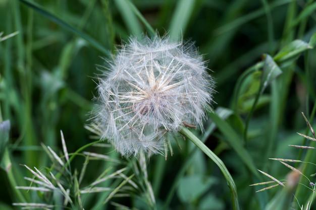 Large dandelion head, greenery