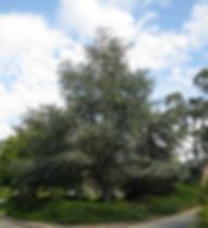 cedrus-atlantica-tree-5.jpg
