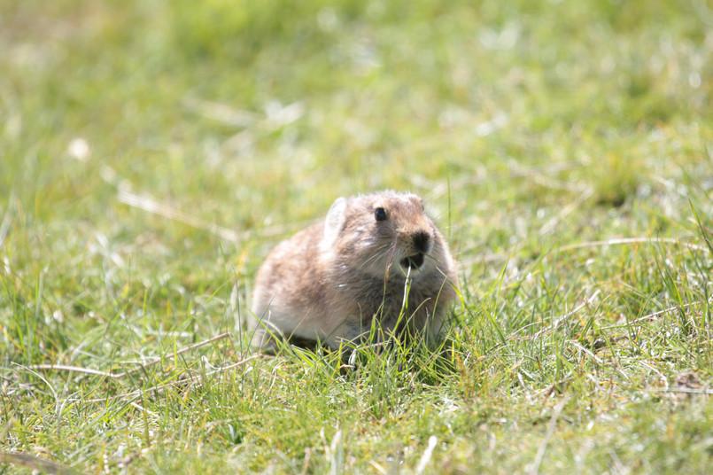 高原鼠兔 (6).JPG